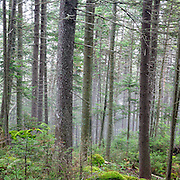 This is the image for July in the 2016 White Mountains New Hampshire calendar. Softwood forest on the northern slopes of Mount Jim in Kinsman Notch of Woodstock, New Hampshire USA. The calendar can be purchased here: http://bit.ly/17LpoRV