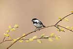 Black-capped chickadee perched in a willow in northern Wisconsin.