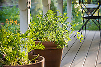 Italian parsley (Petroselinium crispum var. neapolitanum) culinary herb on porch in terra cotta pot (container)
