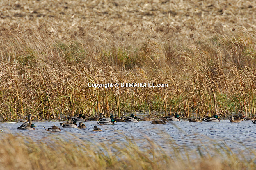 00330-066.17 Mallard Duck (DIGITAL) flock is on the water of pothole surrounded by corn stubble.  Hunt, waterfowl, wetlands.  H1E1