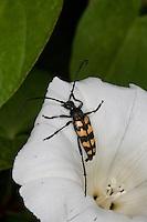Vierbindiger Schmalbock, Schmal-Bock, Strangalia quadrifasciata, Leptura quadrifasciata, auf Zaunwinden-Blüte, Blütenbesuch, Banded Longhorn Beetle