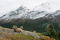 Bighorn Sheep Rams (Ovis canadensis).  Northern Rockies.  Fall.