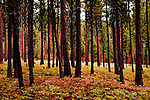 Pine Forest along the Chewuk River, Okanogan National Forest, near Winthrop, Washington just outside North Cascades National Park.  Trees bear the mark of forest fire. Chewuch River