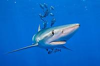 blue shark, Prionace glauca, swimming with pilot fish, Naucrates ductor, Pico Island, Azores, Portugal, Atlantic Ocean