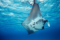 giant oceanic manta ray, Mobula birostris, formerly Manta birostris, feeding at surface, West Caicos, Turks and Caicos, Caribbean Sea, Atlantic Ocean