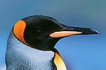 King penguin, South Georgia Island