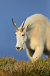 Rocky Mountain Goat in Evening Light