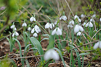 Galanthus Melanie Broughton