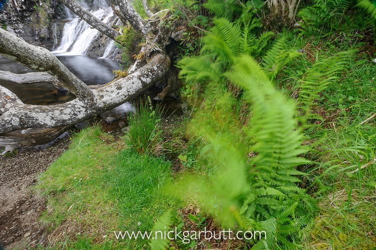 Eas Fors Waterfall, oak and ferns, north west coast, Isle of Mull, Scotland. June