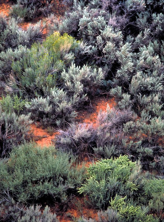 Desert floor covered with Big Sagebrush and rabbitbrush in the fall. lush desert,  gray green, wet sage,  desert, vegetation, texture. Utah, Long Canyon.