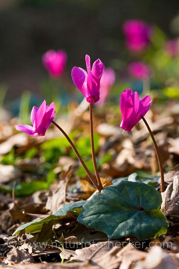 Geschweiftblättriges Alpenveilchen, Geschweiftes Alpenveilchen, Cyclamen repandum, spring sowbread, Wavy-edged cyclamen, le cyclamen étalé, Cyclamen du printemps