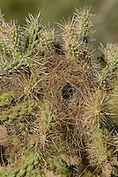 Cactus Wren nest in Chain-fruit Cholla.  Sonoran Destert, Arizona.