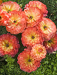 Persian or Turban Ranunculus Ranunculus asiaticus
