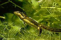 SL04-030z  Red -Spotted Newt - aquatic phase - Notophthalmus viridescens