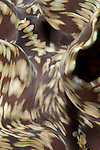 Taveuni, Fiji; detailed view of a brown, tan and green Giant Clam