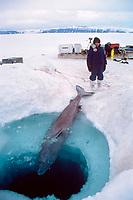 Greenland shark, Somniosus microcephalus, captured through sea ice, off northern Baffin Island, Nunavut, Canada, Arctic Ocean