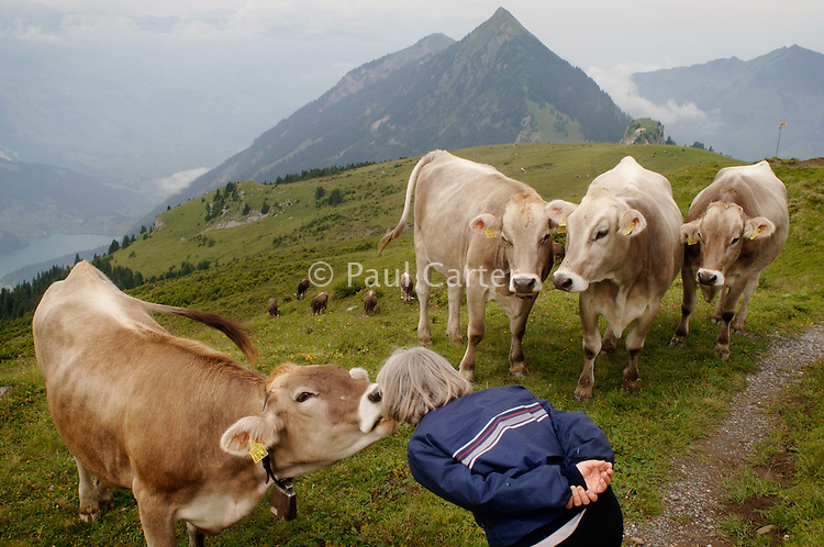 Curious cows near Gibel peak, Switzerland...Cowherd and cheesemaker spends 100 days in the summer, high up in the mountains, tending cows and pigs and making cheese at Balisalp and Käserstatt near Meiringen, Switzerland.