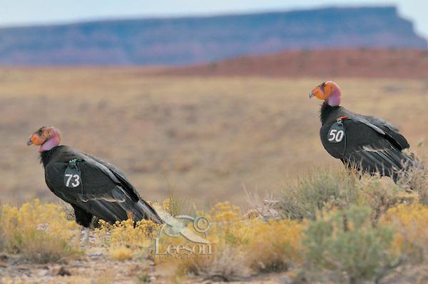 California Condors (Gymnogyps californianus) near Marble Canyon (Colorado River), Grand Canyon National Park, Arizona.