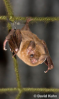 0715-1117  Seba's Short-tailed Bat, Roosting in Building in Belize, Carollia perspicillata  © David Kuhn/Dwight Kuhn Photography