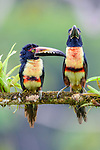 Adult collared aracaris (Pteroglossus torquatus) in rain forest canopy. Boca Tapada, north east Costa Rica.