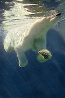 Polar Bear (Ursus maritimus) swimming..