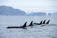killer whale (orcas), Orcinus orca, pod in Kenai Fjords National Park and Chiswell Islands National Marine Sanctuary, southcentral Alaska, USA
