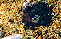 southern bobtail squid, attempting to bury itself for camouflage from predators, Euprymna tasmanica, Edithburgh Jetty, Yorke Peninsula, South Australia, Australia (Southern)