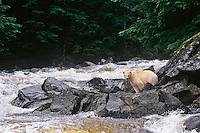 Kermode Black Bear (Ursus americanus kermodei) standing along small salmon stream on Princess Royal Island, British Columbia.  Sept.