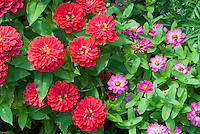 Old-fashioned and heirloom flowers: Zinnia Magellan Coral  with small angustifolia type pink zinnias annual flowers AAS winner blooming in summer, large with small, big and little different types together compare comparison side by side