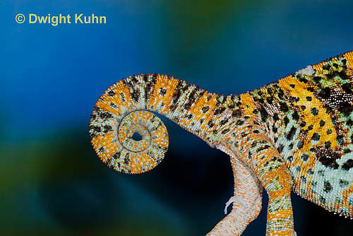 CH40-569z  Veiled Chameleon Male curled tail, Chamaeleo calyptratus