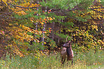 Young bull elk at the side of the road in the Chequamegon National Forest in the Clam Lake Area.