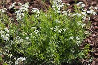 Echter Kerbel, Garten-Kerbel, Kerbel, Gartenkerbel, Kirbele, Anthriscus cerefolium, garden chervil, Chervil, French parsley, Le Cerfeuil commun