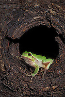 EUROPEAN GREEN TREE FROG..Southern Europe & Western Asia..Captive. (Hyla arborea).