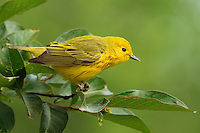 """4 1/2-5"""" (11-13 cm). Bright yellow with a light olive green tinge on back. Male has fine rusty streaks on breast. The only largely yellow warbler with yellow spots in the tail. Song a bright, musical sweet-sweet-sweet, sweeter-than-sweet. Call a sharp chip."""