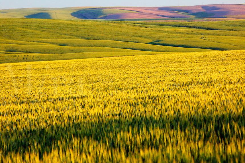 Rolling hills of wheat farmland near Ritzville, Eastern Washington