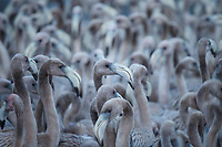 Creche of young American Flamingos (Phoenicopterus ruber). Like adults, young flamingos are highly gregarious, more comfortable in dense flocks than on their own. Rio Lagartos Biosphere Reserve, Yucutan, Mexico. September.