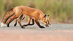 """Pictured: A pair of young red foxes frolic and play on sand dunes at dusk.   The nocturnal siblings had not been awake for long before they began exploring their surroundings and playing with each other.<br /> <br /> The pictures were taken by Roger Zhu on a beach in Cape Cod, Massachusetts, in the United States, alongside his wife Jenny, who is also a keen amateur photographer.   Jenny, who works in marketing, said: """"The play fighting began at nightfall. We waited for them to come out of their den one by one.   SEE OUR COPY FOR DETAILS <br /> <br /> Please byline: @rogerandjennyphotography/Solent News<br /> <br /> © @rogerandjennyphotography/Solent News & Photo Agency<br /> UK +44 (0) 2380 458800"""