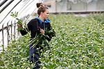 Foto: VidiPhoto<br /> <br /> SLIJK-EWIJK – Bij B&B Fruit in Slijk-Ewijk (Betuwe) worden donderdag de eerste pioenrozen geoogst door Poolse werknemers. Door het koude voorjaar is dat bijna drie weken later dan vorig jaar. Ook de fruitoogsten zijn naar verwachting dit jaar 2-3 weken later. Steeds meer fruittelers, akkerbouwers en tuinders stappen in de pioenteelt voor extra cash flow in een magere periode van het jaar en om het personeel aan het werk te houden. Omdat er nog relatief weinig aanbod is liggen de prijzen zo'n 20 procent hoger dan vorig jaar. B&B Fruit kweekt op 4 ha zo'n 600.000 stuks pioenrozen. De stelen die nu geoogst worden komen uit tunnels. Nederland is de grootste pioenenproducent ter wereld.