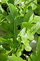 Italian oak-leaf lettuce 'Catalogna'.