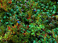 Art in Nature 9607-0162 - Wild blueberries nestle amongst the rich ground cover throughout Alaskan meadows in late summer. Alaska.