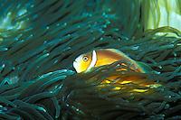 White bonnet anemonefish, Waikiki aquarium