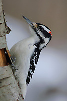 Adult male Hairy Woodpecker (Picoides villosus). Tompkins County, New York. February.