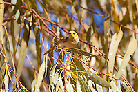 White-Plumed Honeyeater, Tennant Creek, NT, Australia