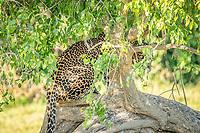 Sri Lankan leopard (Panthera pardus kotiya) in tree, seen through vegetation,. Yala National Park, Southern Province, Sri Lanka.