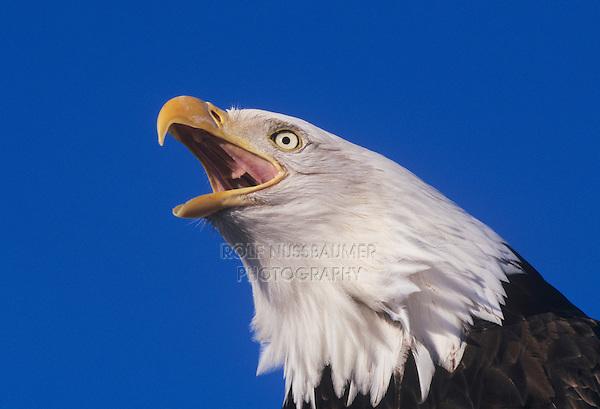 Bald Eagle (Haliaeetus leucocephalus), adult calling, Homer, Alaska, USA
