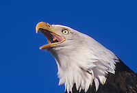 Bald Eagle (Haliaeetus leucocephalus), adult calling, Homer, Alaska, USA