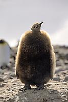 king penguin juvenile, Aptenodytes patagonicus, South Georgia Island, U.K.