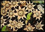 Star fungus, Indonesia