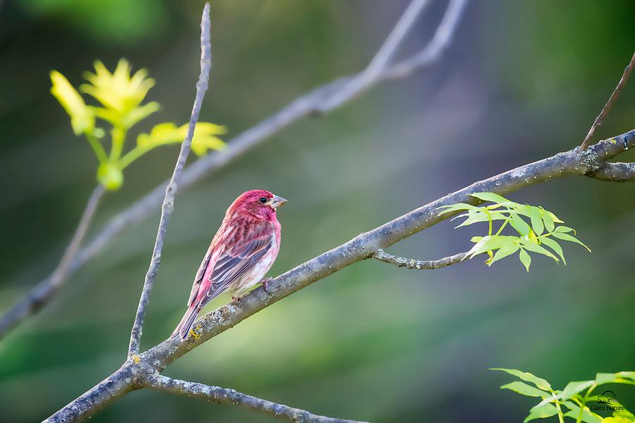 Purple Finch (Carpodacus purpureus) male pauses to assess its environment.