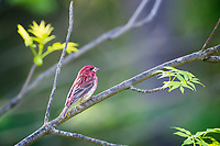 Purple Finch (Carpodacus purpureus) male pauses to assess its environment.